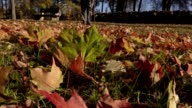 Disabled man collect autumn leaves in park video
