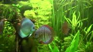 Discus (Symphysodon) video