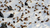 Disheveled and beat up pigeons and sparrows, picking some food on white sunlit snow. video