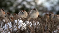 Disheveled and beat up sparrows, perching on shaven snowy bush. video