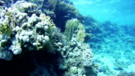 Diving near Coral Reefs in the Red Sea, Egypt video