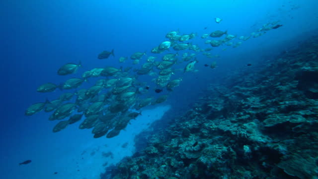 Diving with school of fish, reef in the Pacific Ocean video