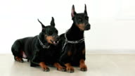 doberman pinschers lying together on white wooden floor waiting for commands, yawning dog model video