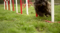 Dog agility with pet doing slalom between hurdles video