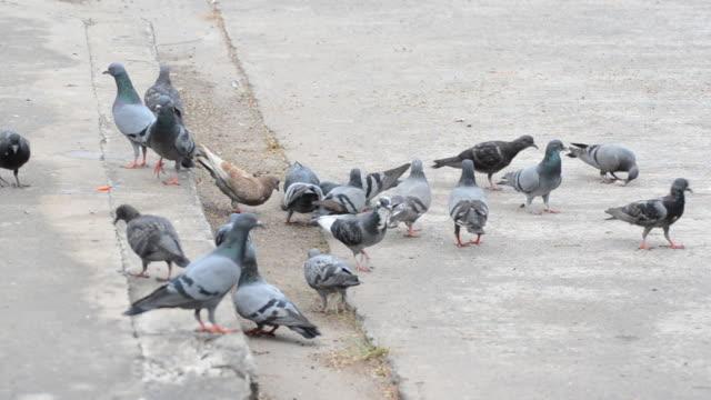 dog attack Pigeon video