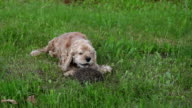 Dog barking and curled up hedgehog video