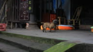 Dog Barking at Chinese Temple video