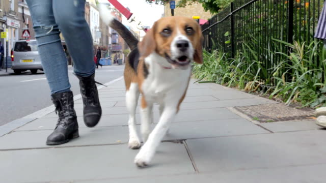 Dog Being Taken For Walk Along City Street video