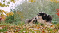 Dog breed Australian shepherd resting in the yard. Against the background of yellowing trees in autumn video