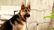 dog breed German Shepherd portrait video