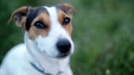 dog breed Jack Russell Terrier sniffs something in the air video
