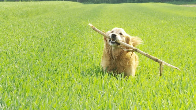 HD SLOW-MOTION: Dog Bringing A Stick video