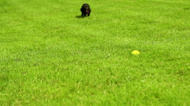 Dog chasing tennis ball video
