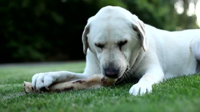 Dog chewing bone video