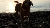 Dog Coming From Sea video