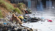 HD dog drinking from polluted river in the Philippines video