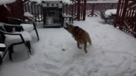 Dog Eating Snow Flakes During Storm video