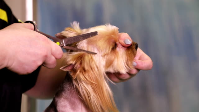 Dog Groomer makes a hairstyle of Yorkshire terrier video