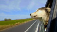Dog has her head out a car window video