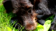 dog head close-up. Hunting dog brown color, with wet hair. video