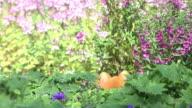 dog hide and seek playful in flowers garden, 4k video