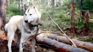 Dog holding a stick in his mouth in the forest on the background video