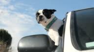 Dog in Car video