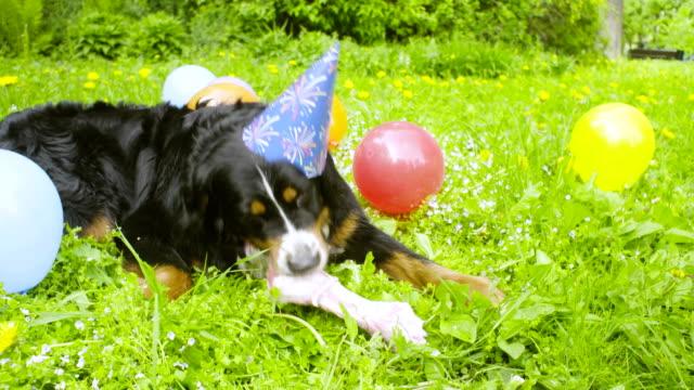 A dog in festive cap eating a bone video