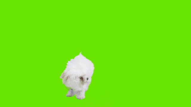 Dog in front of green screen video