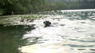 Dog in lake fetch stick and bring back video