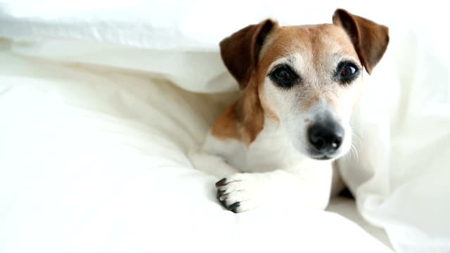 Dog in the bed. Good morning or sweet dreams. video