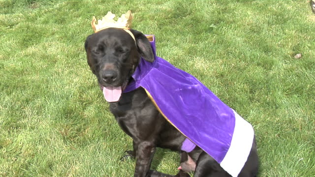 Dog in various costumes video