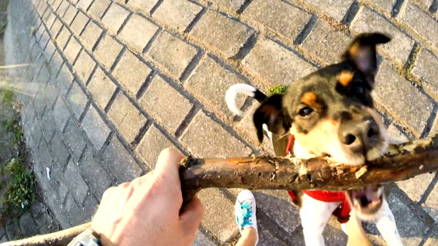 Dog Jack Russell Terrier playing with a wooden stick. video