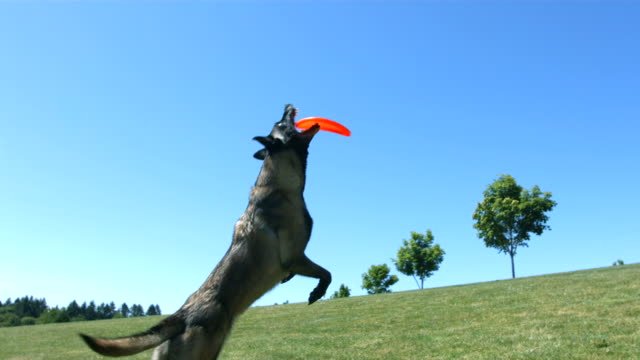 Dog jumps and catches disc, slow motion video