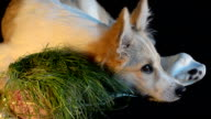 Dog lies next to the grass in the pot. Close-up, selective focus video