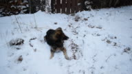 Dog lies on snow in winter and then runs away video