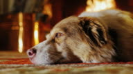 Dog lying on the floor in the building. Against the background of the fireplace, dreams video