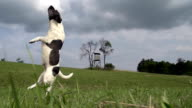HD SUPER SLOW-MO: Dog Missing The Ball video