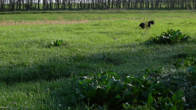 Dog of breed drathaar hunting in green field. video