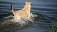 Dog of breed labrador retriever swims in the lake. video