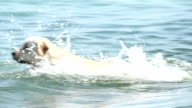 Dog of Golden retriever swims in the lake. video