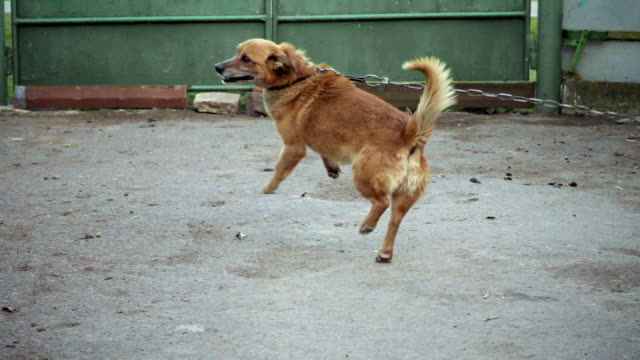 Dog on a chain of barks jumps in slow motion video