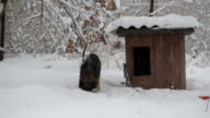 Dog on chain eating in snow near kennel video