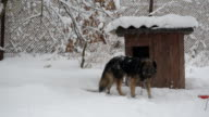 Dog on chain in snow enters its kennel in winter in snowfall video