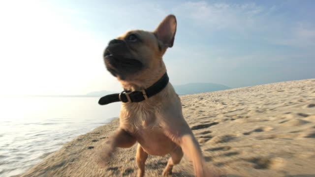 Dog on the beach 4K video