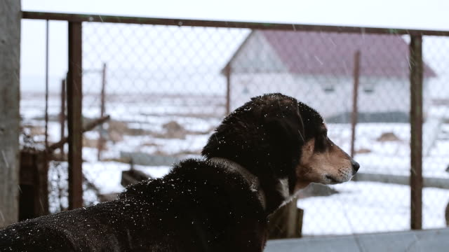 Dog on the chain in winter video