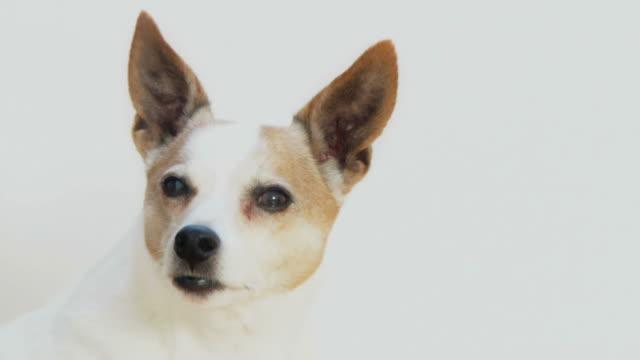 Dog on White (HD) video