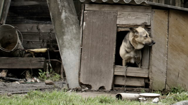 Dog peeking out of the doghouse video