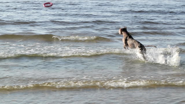 Dog pit bull playing in water slow motion video