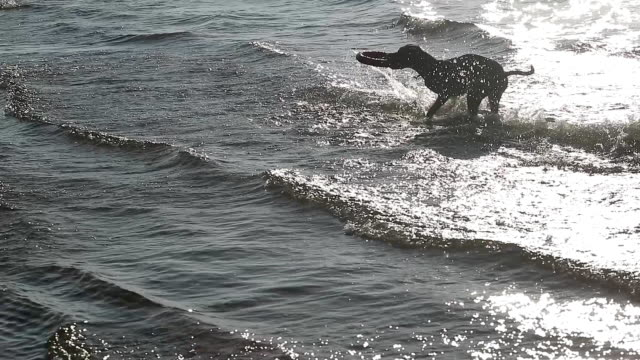 Dog pit bull playing in water video